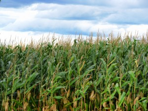 corn-fields